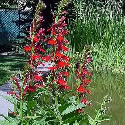 Lobelia cardinalis<br>Cardinal Flower   Seed