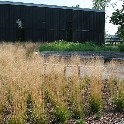 Deschampsia cespitosa<br>Tufted Hairgrass